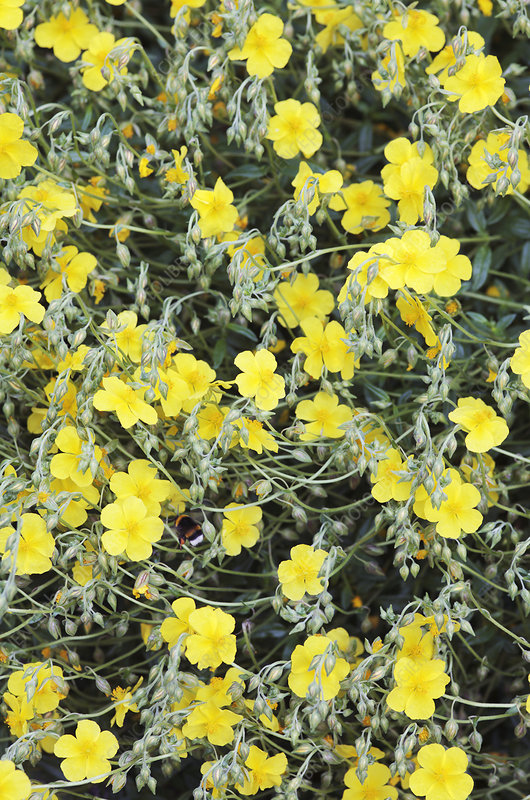 Rock rose (Helianthemum sp.)