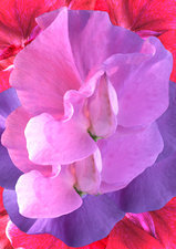Sweet pea (Lathyrus sp.) flowers
