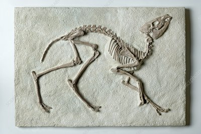 Leptomeryx fossilised in stone slab