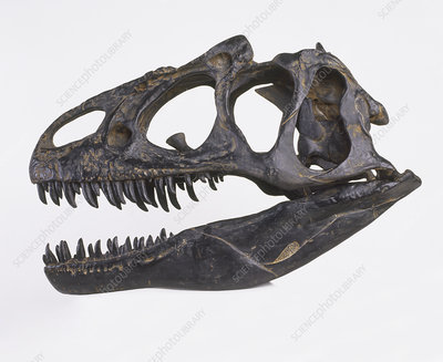Skull of Allosaurus, side view