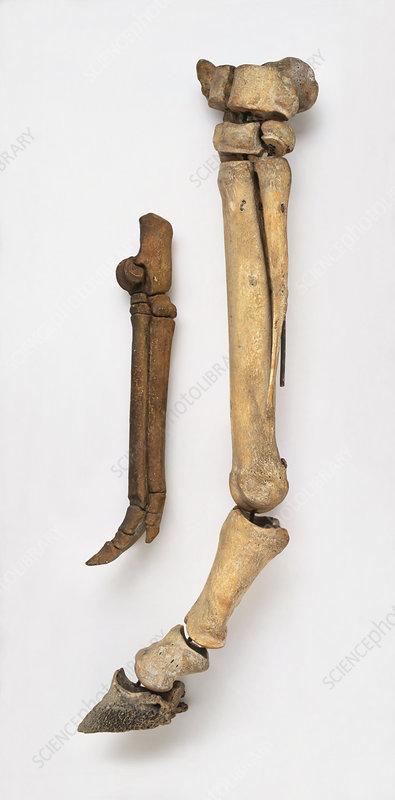 Leg bones of modern horse and early horse