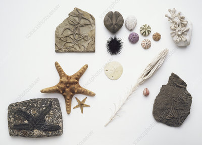 Fossilised and modern echinoderms