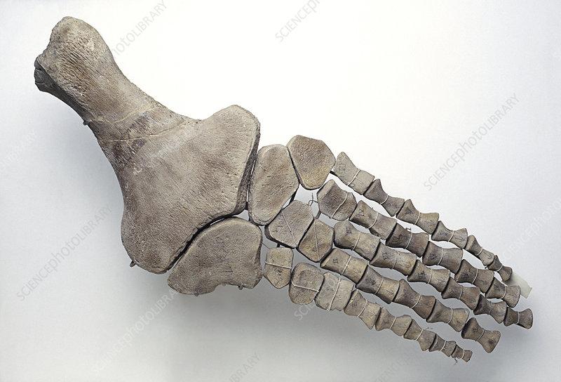 Foot of plesiosaur