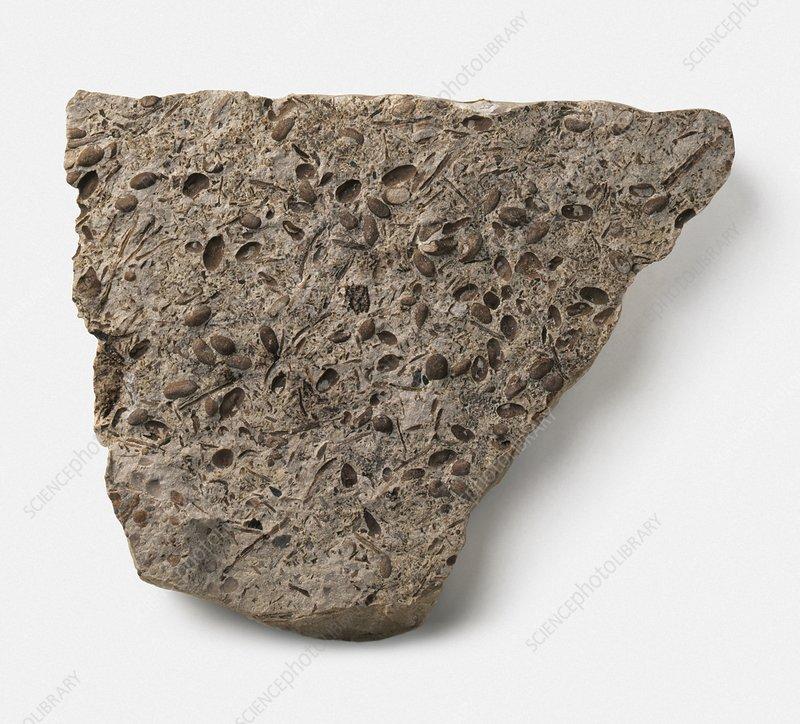 Equisetites tubers fossil