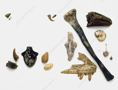 Assorted fossilised bones and shells