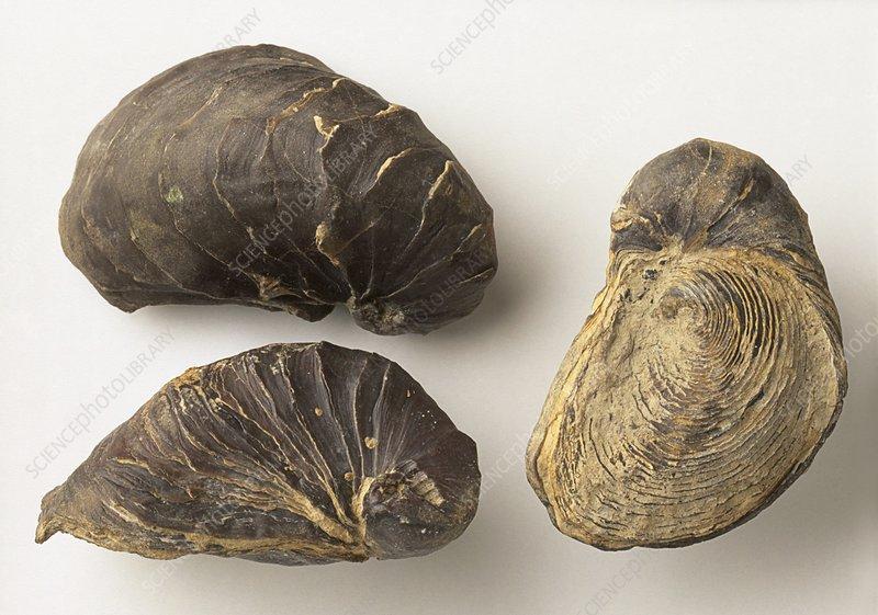 Fossilised Exogyra africana Oyster shells