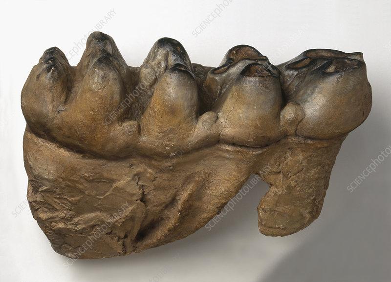 Fossilised teeth from Tetralophodon