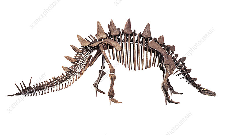 Tuojiangosaurus skeleton, side view