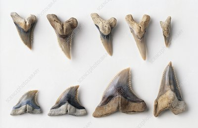 Snaggletooth Shark teeth fossils