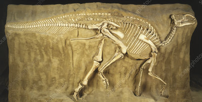 Gryposaurus fossilized skeleton