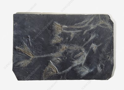 Sea lilies fossilised in black stone