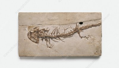 Giant salamander fossil