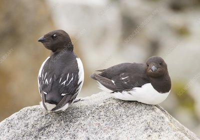 Little Auks or Dovekie (Alle alle)