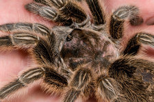 Chilean rose tarantula close-up