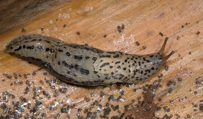 Leopard slug or Great grey slug
