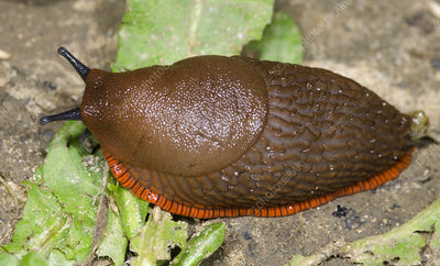 Large red slug