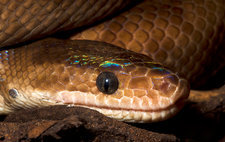 Columbian rainbow boa head detail