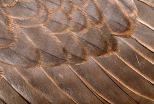 Lanner falcon wing feathers abstract