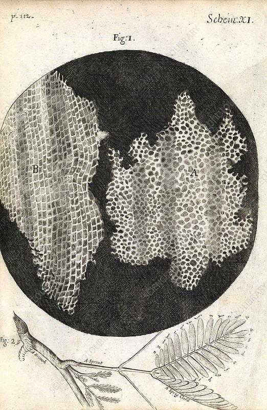 Cork Cells  Hooke U0026 39 S Micrographia  1665