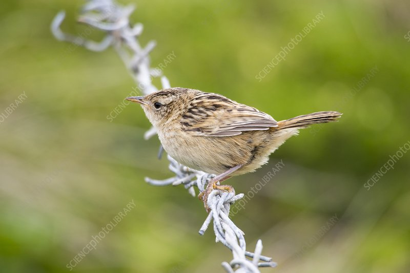 A Sedge Wren or Grass Wren