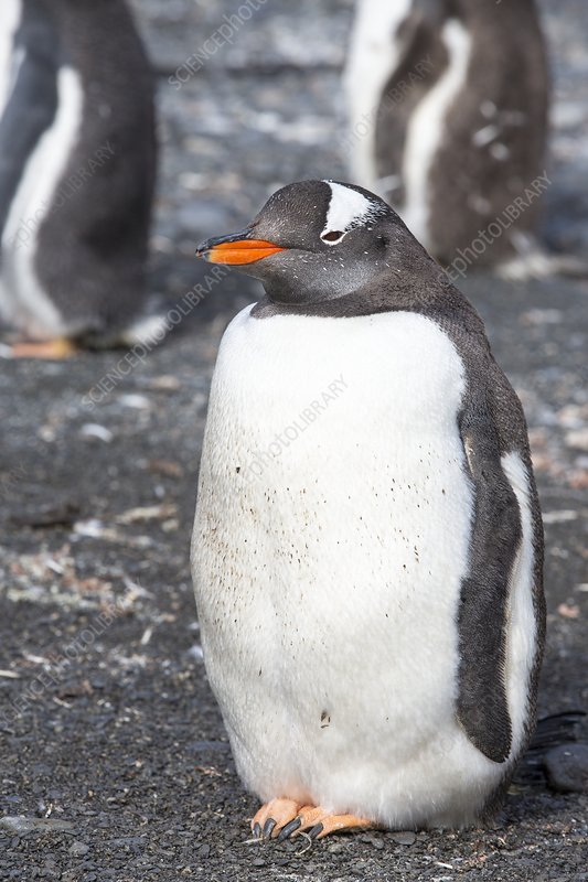 A Gentoo Penguin on Prion Island