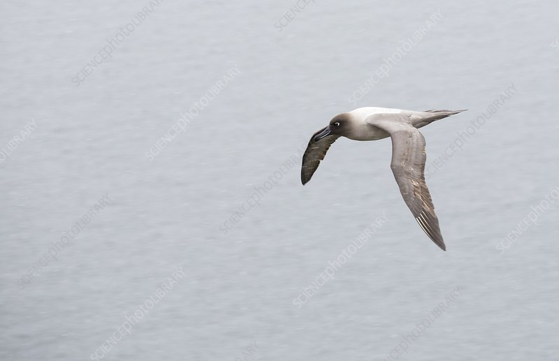 A Light Mantled Albatross