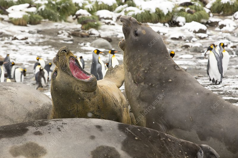 Large bull Southern Elephant Seal