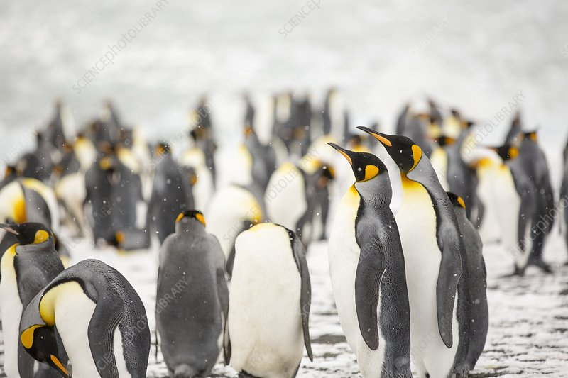 King Penguins on the beach, Gold Harbour