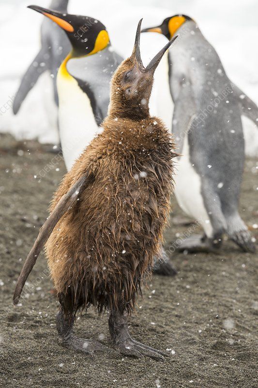 A young King Penguin calling