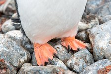 A Gentoo Penguin at Hannah Point