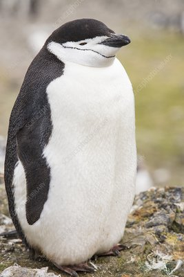 A Chinstrap Penguin
