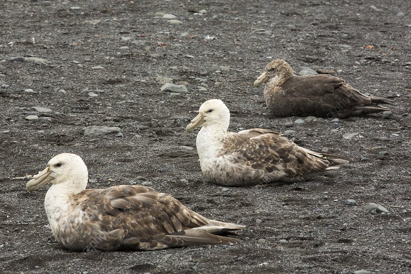 Three Southern Giant Petrels