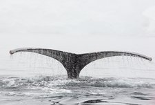 Humpback Whales feeding on Krill