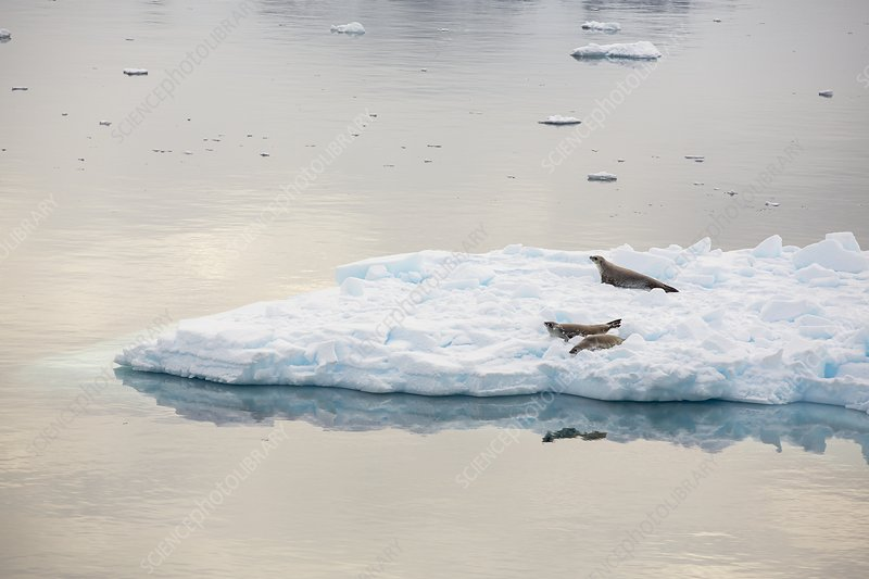 Crabeater seals on ice floes