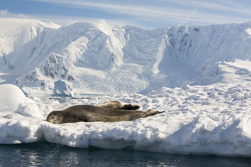 A Leopard Seal
