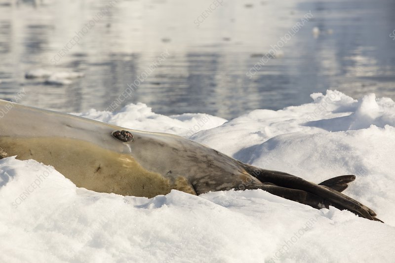 A male Leopard Seal