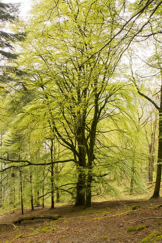 A Beech Tree in Spring