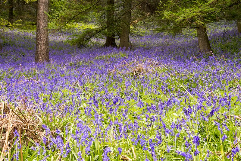 Bluebells growing in a woodland