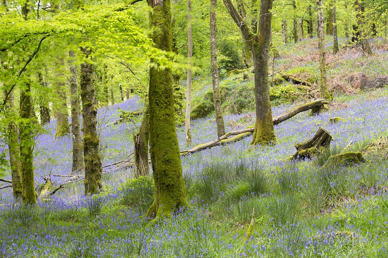 Bluebells in Jiffy Knotts woodland