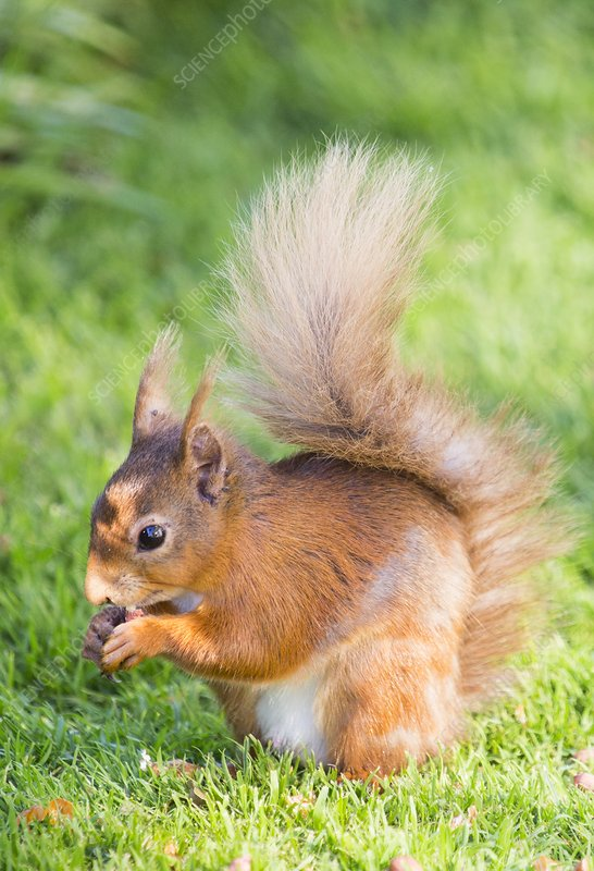 Red Squirrel at Haweswater