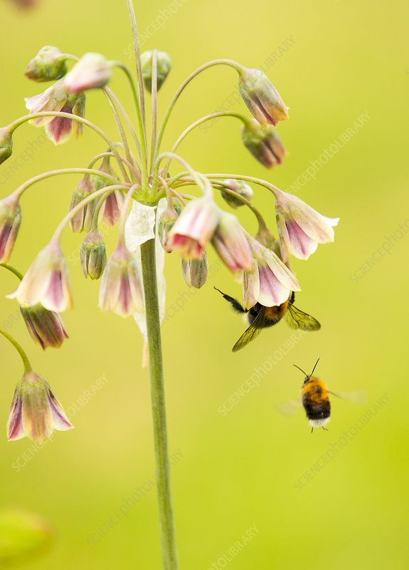 Bumble Bee gathering pollen