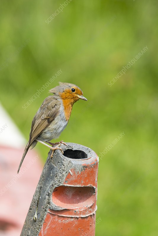 A Robin perched on a traffic cone