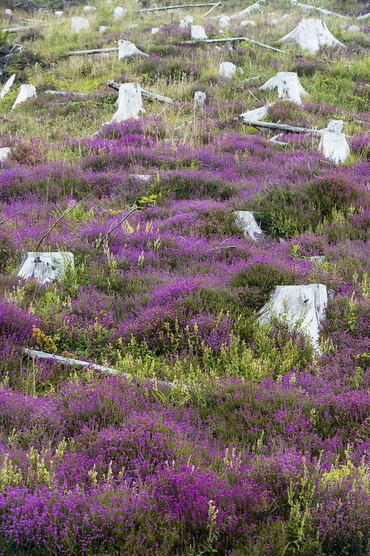 Heather growing, clear felled conifer