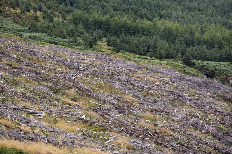 Clear felled conifer plantation