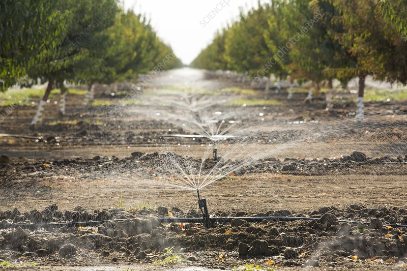 Almond trees being irrigated