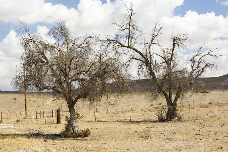 Drought killed trees in Bakersfield