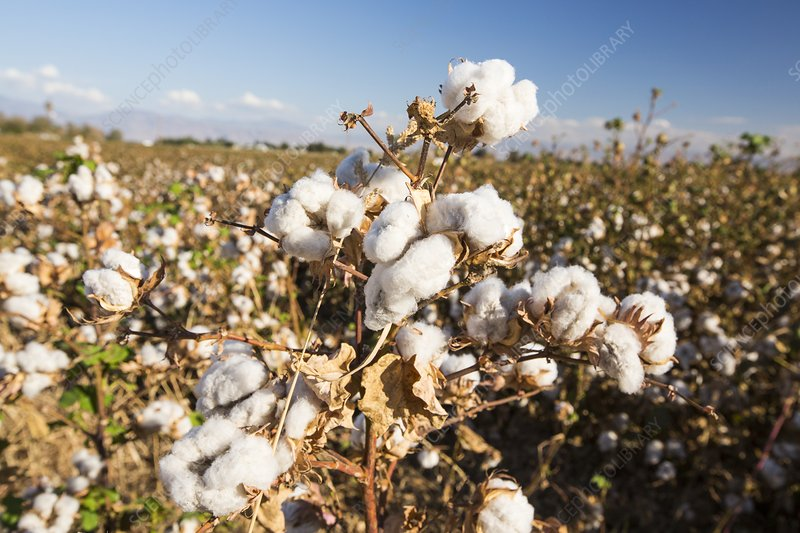 Cotton growing in California