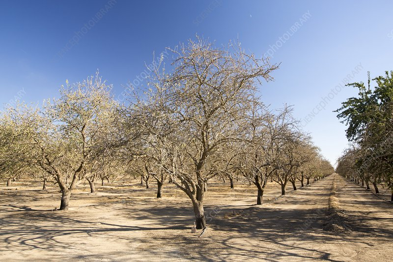 Dead and dying Almond trees