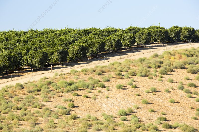 Orange trees near Bakersfield