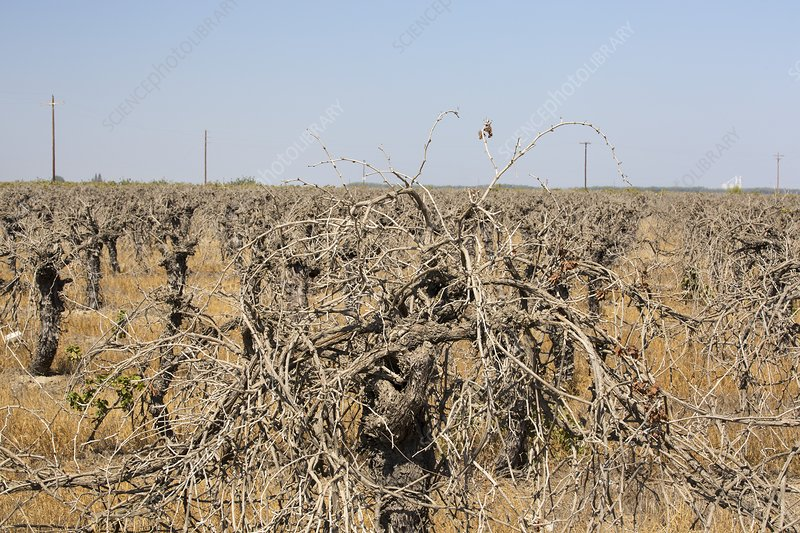Dead and dying grape vines